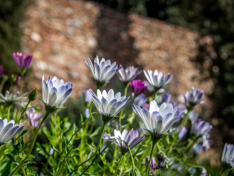 Flowers of the Alcazaba, Málaga, Spain