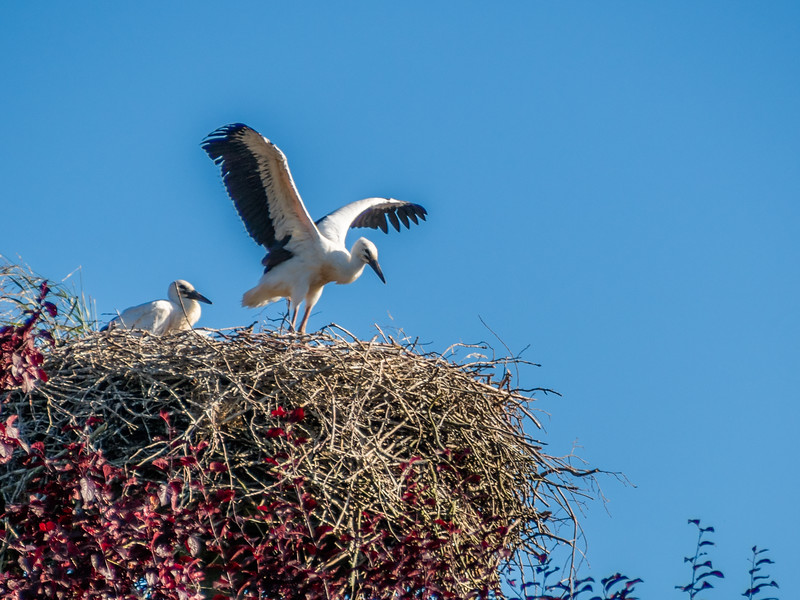 Young Storks Stretching Their Wings, Mecklenburg, Germany