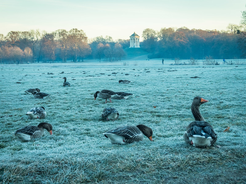 Winter Geese in the English Garden, Munich, Germany