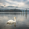 Swan on Lake Windermere