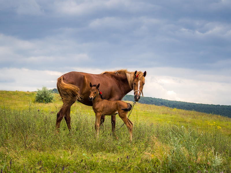 Horses on the Hill, Orheiul Vechi, Moldova