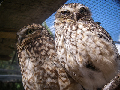 Burrowing Owls, Cusco Zoo, Peru