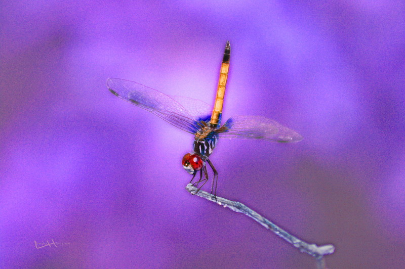 Neon Dragonfly