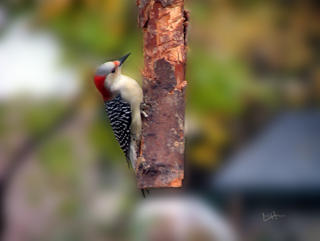 Female redbreasted woodpecker delights over peanutbutter smeared on a log