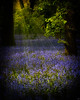 The Magical Bluebell Patch