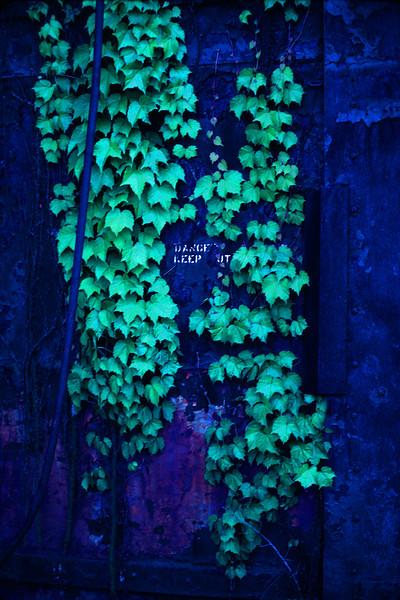 Danger Keep Out! Ivy On Old Blue Walls