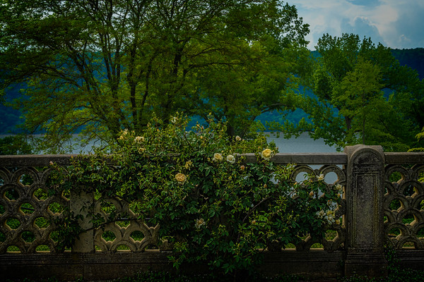 Rose Bush Wall With A View Of The Hudson