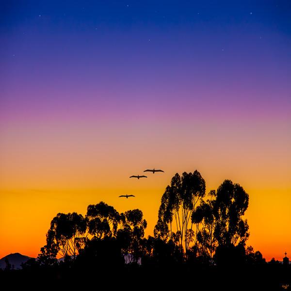 Pelican Dawn