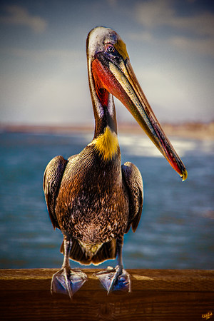 Wild Brown Pelican Portrait