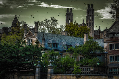 Chimney Swifts Over Yale
