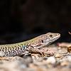 Lizard of Herculaneum, Italy