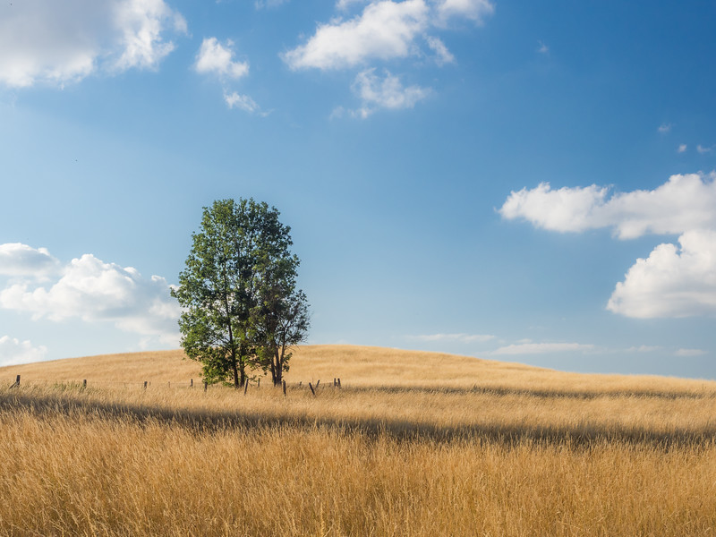 Lonely Tree among the Wheat, Mecklenburg, Germany