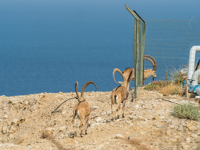 Ibex and the Dead Sea, Ein Gedi Kibbutz, Israel