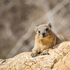 This Hyrax Is Here to Help, Ein Gedi, Israel