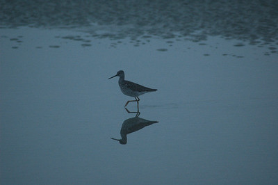 Just before dawn this shorebird walks the surf in search of a meal