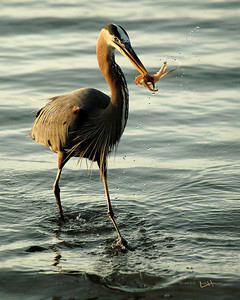 """This blue heron has a prize possession of squid from a nearby fisherman. Would you believe it is the same bird in the silhoutte photograph """"Spiritual Serenity?"""""""