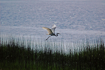 This elegant egret glides by the reeds of one of the many inlets at Hilton Head. If you look closely at its beak, there you will see it's morning catch... might it be for a nest full of hatchlings?