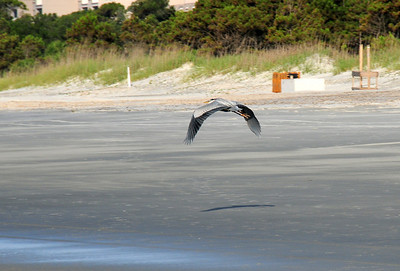 This great blue heron is on a quest for a kind hearted fisherman willing to share some bait