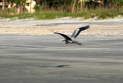 A great blue heron scopes out the shore in search of someone with a fishing pole and some bait