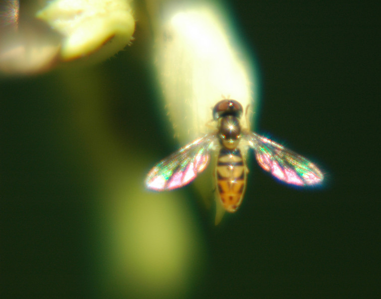 "This is a super macro photograph of a ""bee."" Before I purchased close-up filters, I used an old magnifying glass. You have to be able to see the picture and determine it is ""in-focus.""  I've been trying to find the name for this insect. Someone said it is a sweat bee. Can anyone shed light here?"