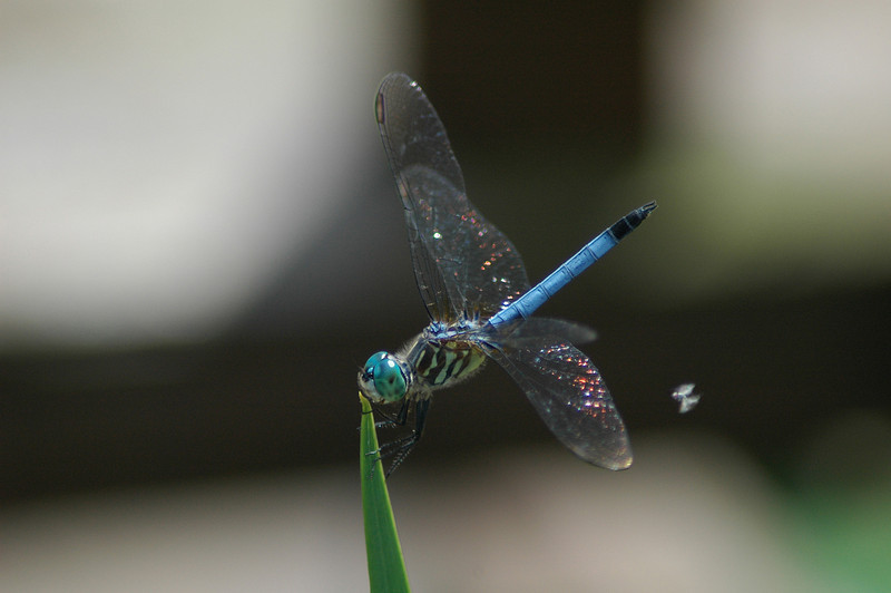 This dragonfly rests on the tip of a blade of grass only to be attacked by a pesty ol' fly