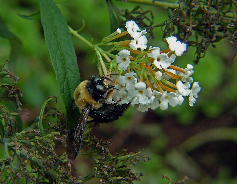 Many insects are attracted by the butterfly bush. It is not uncommon to site a large bumblebee buzzing around and competing with butterflies, hummingbirds, and Sphinx Moths