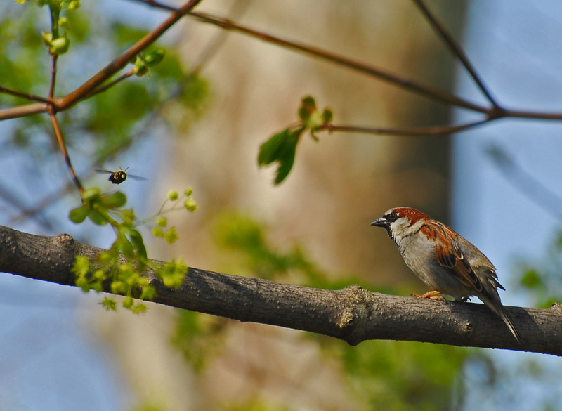 """This is a """"Got The Shot"""" photo. It is not one of those photographs that can be planned for. It just happens. The sparrow was sitting on the branch singing away when a bumble be happened to go by at just the right moment that the shutter was tripped... and thus the shot"""