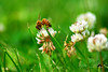 Get a Buzz from Fields of Clover