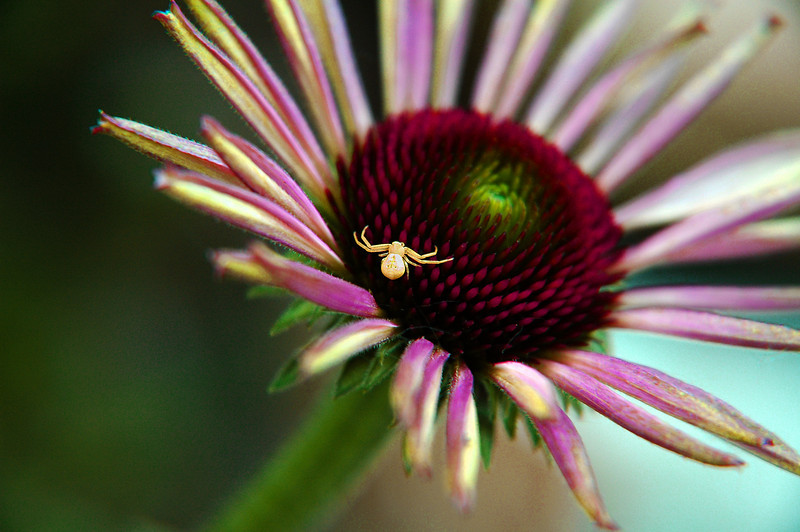 This spider was not difficult to find. If it was trying to be inconspicuous to its prey, it chose a wrong place to set its trap. This coneflower with its deep purple coloring makes the spider quite visable and quite a beautiful picture.