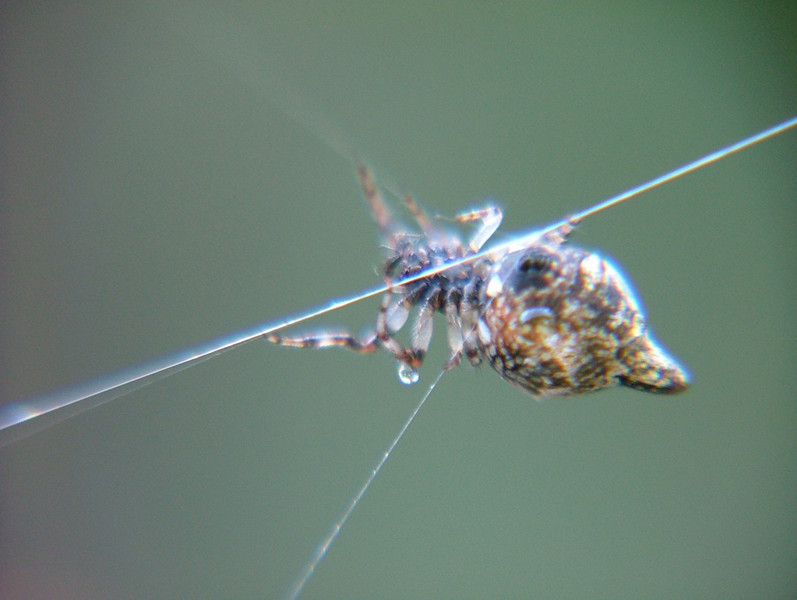 Caught this one spinning its web; very close and personal. If you would like to observe it spinning a web you may go to the video section and watch a video recording of its weaving a web in the video views gallery