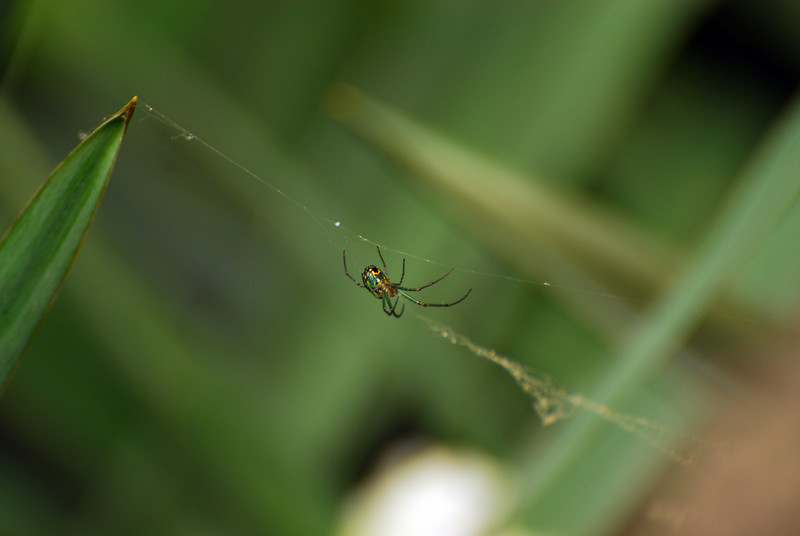 This spider was first observed on the campus of IU in Bloomington, IN. If you can identify the spider, please contact me.