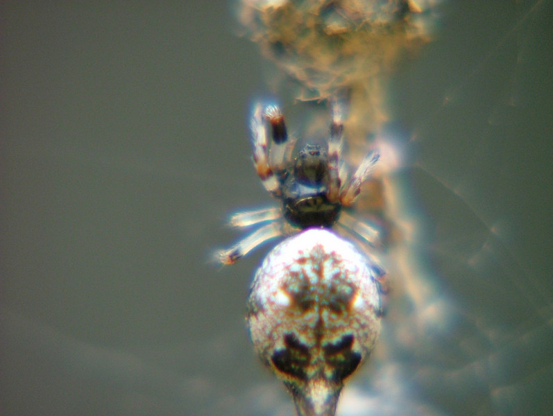 This spider is about the size of a small pea. If you would like to observe it spinning a web you may go to the video section and watch a video recording of its weaving a web in the video views gallery
