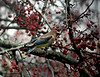 This Cedar Waxwing is caught just at the moment of snatching a berry off a branch.