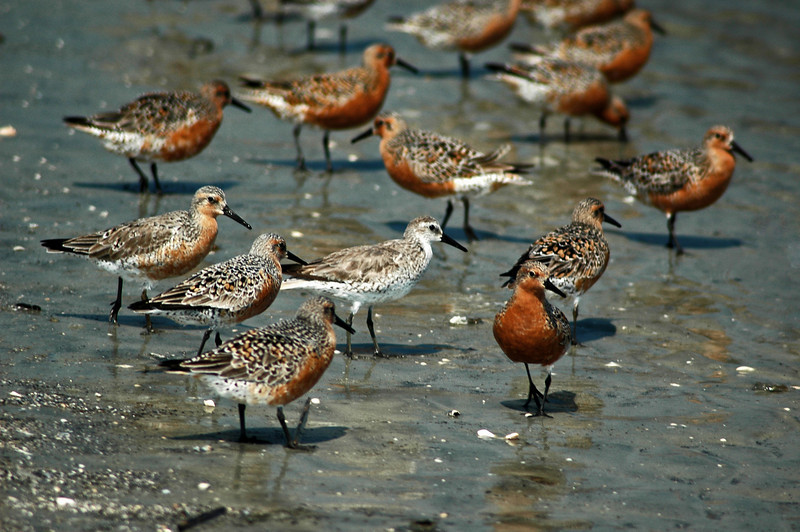 "These Red Knot shore birds scurry along the shore. They are the ""keystone cops"" of the beach. They run along the shoreline following the surfline as it recedes into the sea... and then scurry up the beach as fast as their legs will go to avoid the incoming waves. They are a comical bunch to watch. And if you get too close, they all take off in unison and seem to fly in a synchronized formation. It's a wonder none ever collide in this flight pattern. The white one in the middle is the first to get its winder plumage. Before long, all will be change from the rust plumage to white."