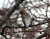The Cedar Waxwing is a colorful bird. This was a pleasant surprise to photograph one visiting the crabapple tree feasting on a banquet of berries .