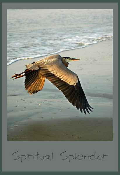 """""""Spiritual Splendor"""" was photographed on my birthday... does it make that my birdday? This photograph has won many special recognition awards beyond the numerous 1st places. This is the same bird as photographed in """"Bad Feather Day."""""""