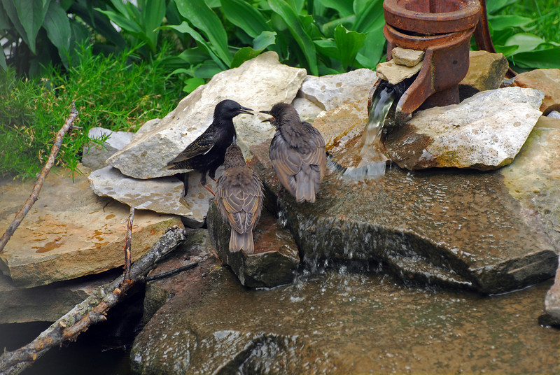 """This is a starling and its two babies. They had been hopping all over the yard at the heels of this poor adult. Sometimes the babies would even leapfrog over the adult and drop down right in front. The photo reminds me of a """"Monday morning meeting at the water cooler."""""""