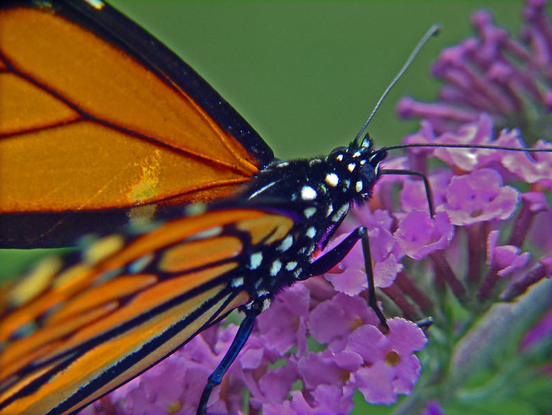 "An ""in your face"" photograph of a monarch as it sips nectar from a lavendar butterfly bush"