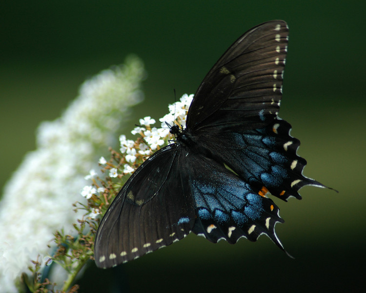 The contrast of this spicebush swallowtail on the white flower butterfly bush is a striking photograph
