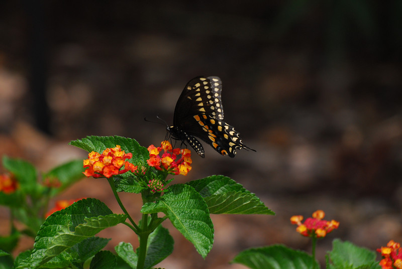 This Swallowtail almost disapears into the dark shadows if not for the yellow spots outlining its wingtips.
