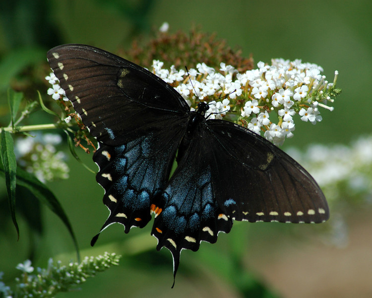 The spicebush swallowtail opened fully to show its beautiful intricate pattern and colors