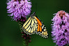 "This monarch has stumbled upon what must be a ""Disneyland"" for butterflies. The Blazing Star stick flower is a favorite of many butterflies"