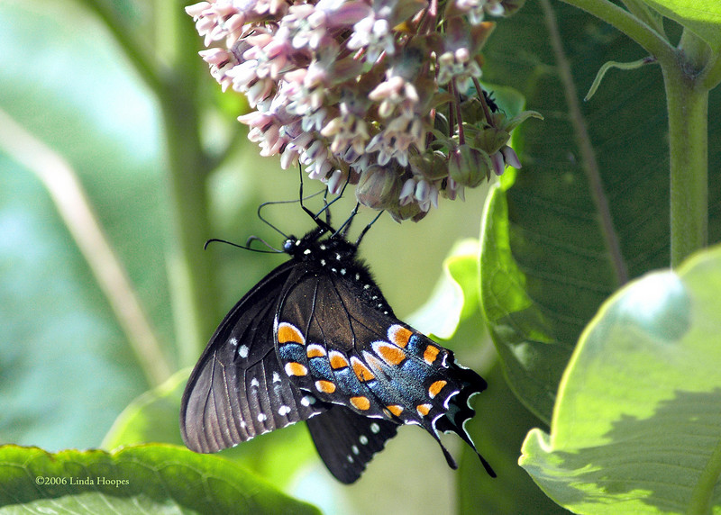 This Virginia Spicebush Swallowtail enjoys a meal from a favorite plant of the butterflies--milkweed.