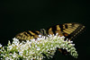 This Tiger Swallowtail slowly works its way along the small flowers of the butterfly bush