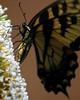 Here the Tiger Swallowtail moves along the coneshape of the butterfly bush cluster of flowers