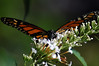 Here a monarch crests the cone cluster of a butterfly bush
