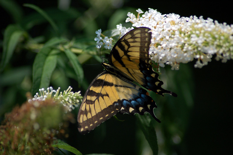 A Tiger Swallowtail fully extended to reveal the intricate wing design