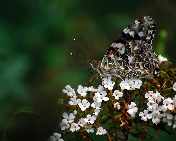 Painted Lady butterfly, side view