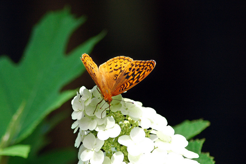 The fritillary pauses for some nurishment