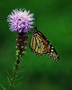 This monarch pauses a moment on a blazing star